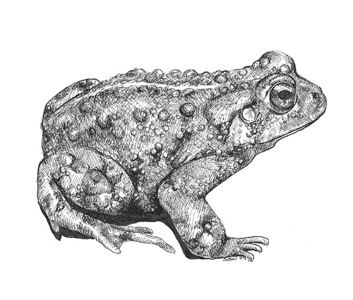 Bufo boreas (Boreal toad), Sara's illustration done for the Utah Division of Wildlife resources